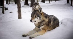 wolves-2058902_960_720